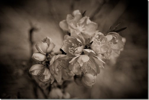 sepia flowers-1