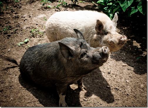 pig sit final 2-1