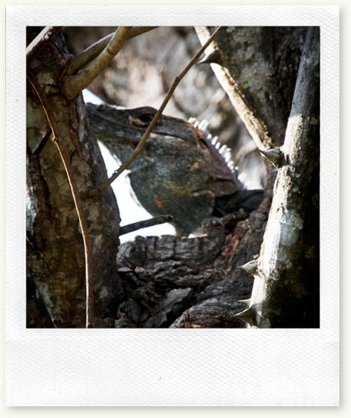black-lizard-nosara