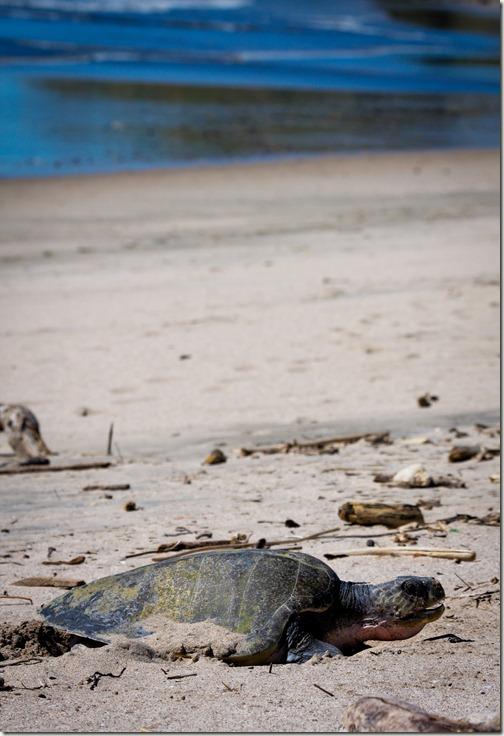 sea turtle nosara