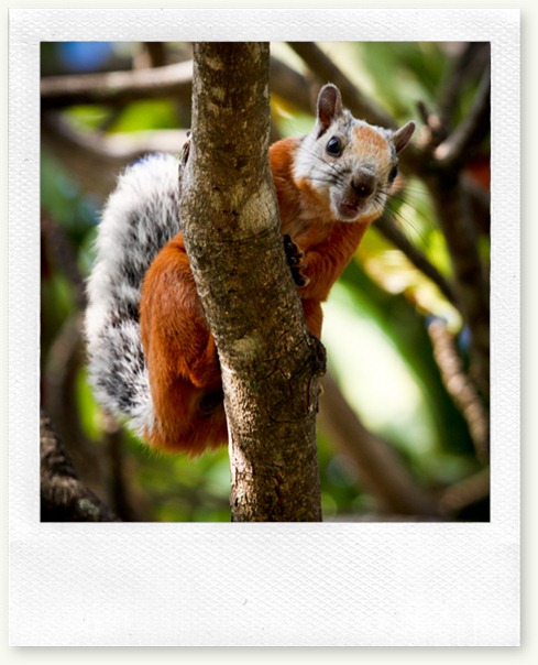 squirrel-nosara-red-gray 2