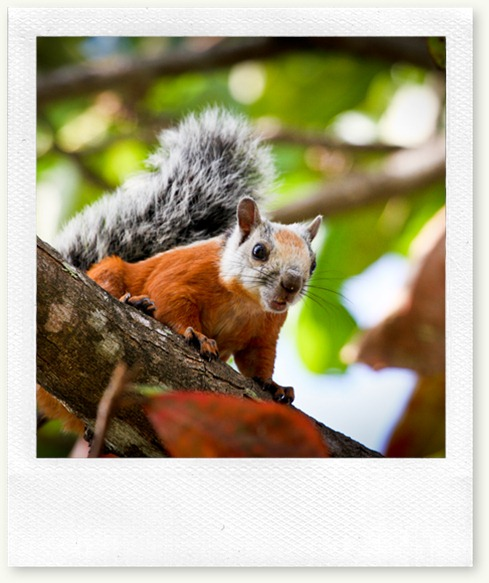 squirrel-nosara-red-gray 4