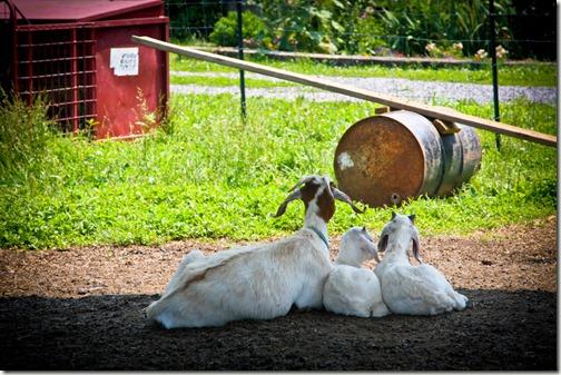 terra goats 6 (1 of 1)