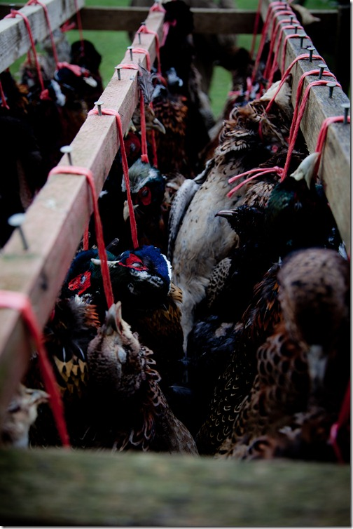 pheasant hunt  jan2012