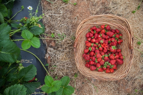 may 2014-strawberry-27 (1 of 1)