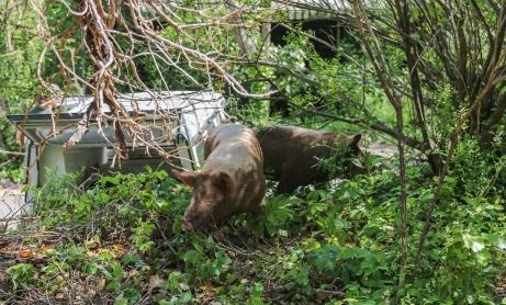 may2015-pig-05 (1 of 1)