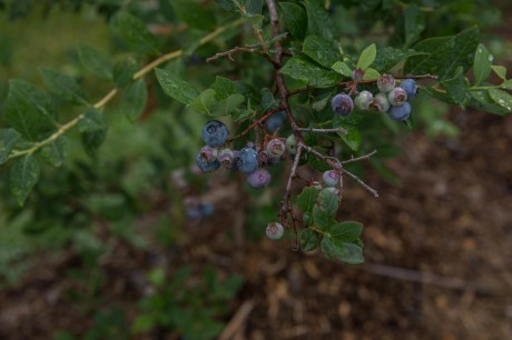 june2016-blueberries-57 (1 of 1)