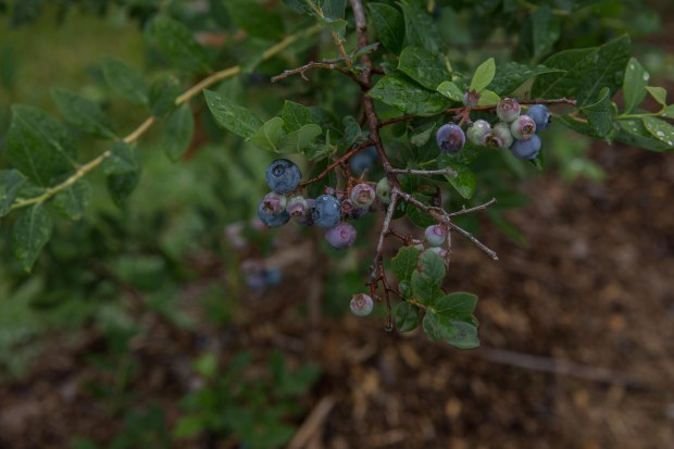 june2016-blueberries-57 (1 of 1)