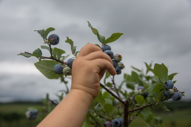 june2016-blueberries-58 (1 of 1)
